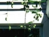 Hops-Cascades.jpg